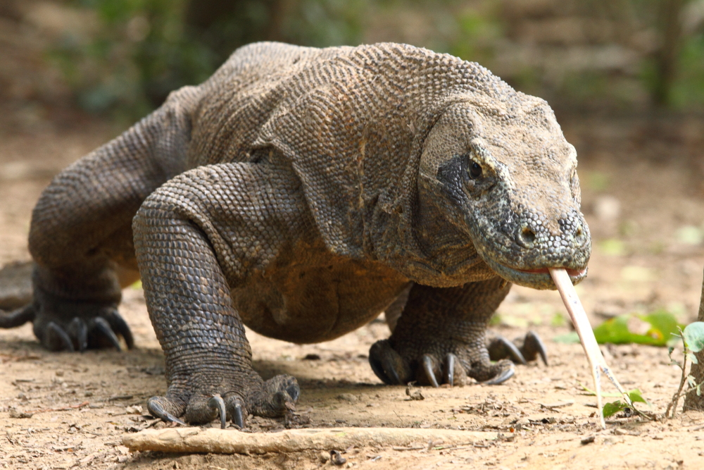 Komodo Dragon: Nature And Science From ALB: The Sex Life Of The Komodo Dragon