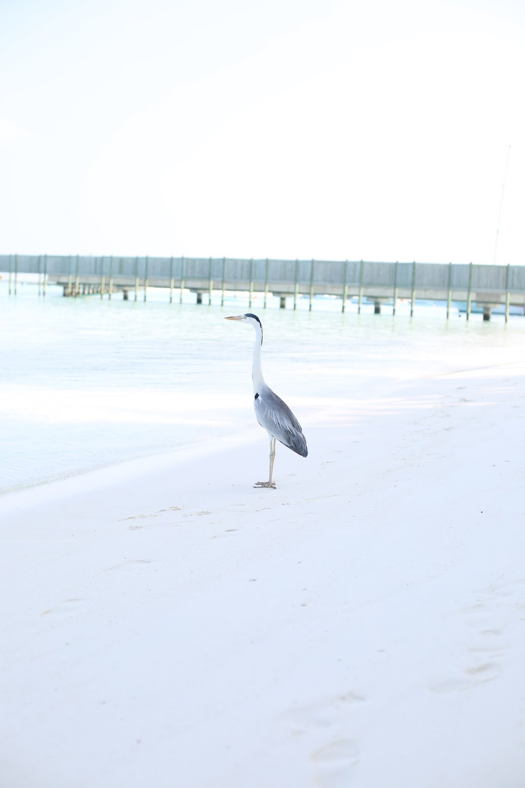 Maldives birds