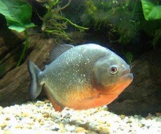 Ikan Bawal - Cianjur Update
