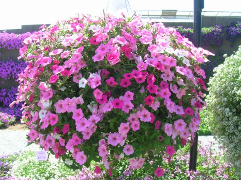 How To Grow Petunias Tips Instructions Warnings