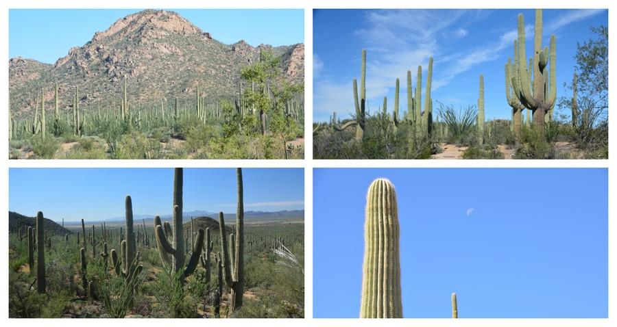 Les cactus de Saguaro Nationa Park
