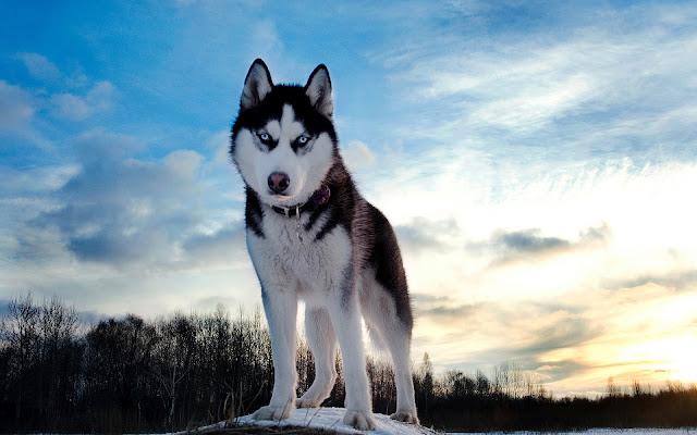 Foto van een mooie wolf met blauwe ogen