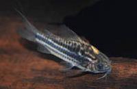 Jenis Ikan Corydoras bilineatus