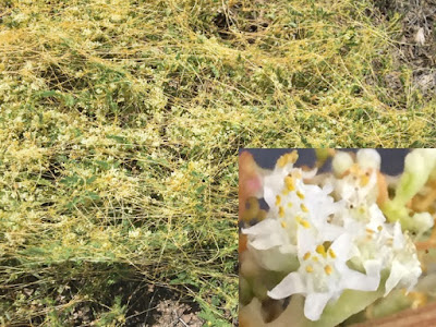 A composite photo showing the flowers of the parasitic plant dodder. The photo insert shows a close-up of the white flowers.