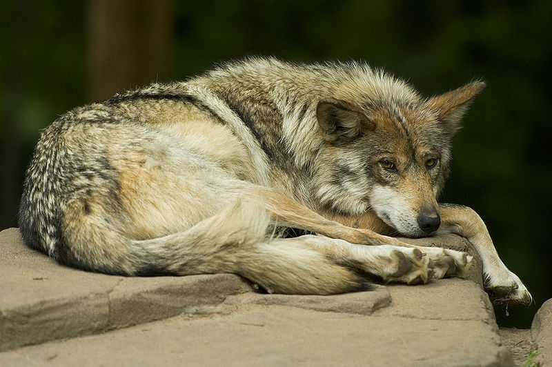 Mammals Animals: Mexican wolf lounging