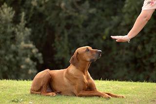 obdiência em cães