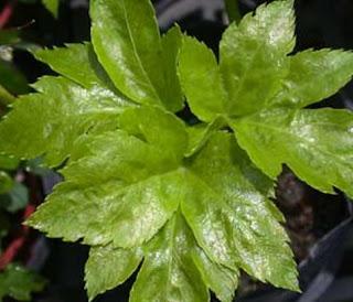 daun ashitaba