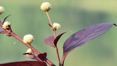 ข้อมูล ต้นบานไม่รู้โรยบราซิล ลักษณะ ใบ/ดอก, ขยายพันธุ์, พืชต่างถิ่นรุกราน