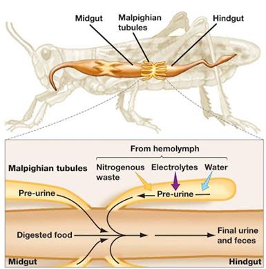 Serangga – Pembuluh Malphigi Sistem eksresi pada belalang