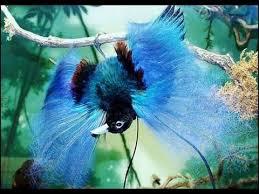 46 Gambar Burung Cendrawasih Dan Penjelasannya HD Terbaik