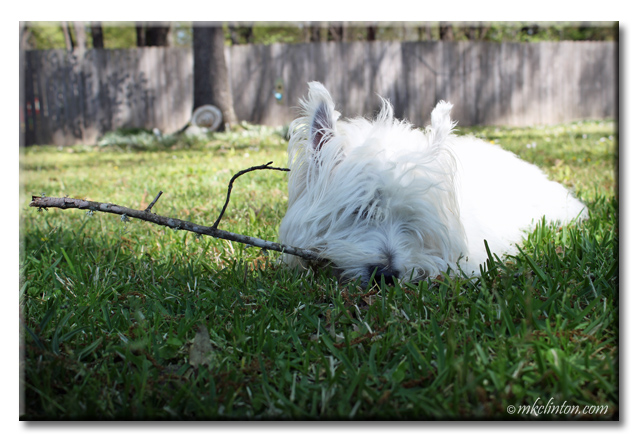 Pierre Westie chilling out in the yard with a stick.