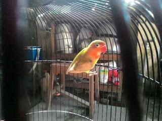 Ciri Burung Love Bird Dewasa Over Birahi