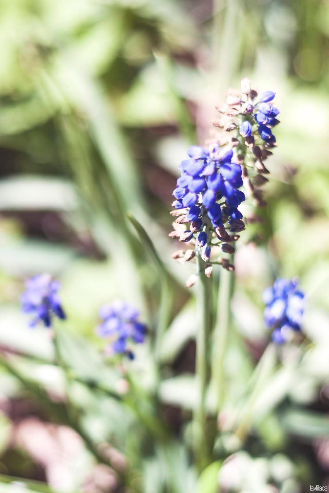 Brooklyn Botanic Garden - Hyacinth