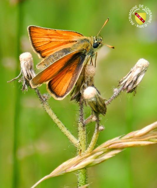 L'Hespéride de la Houque (Thymelicus sylvestris)