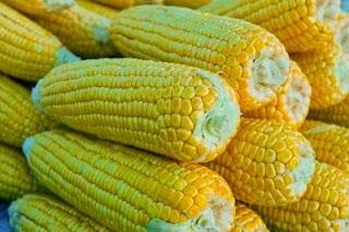 Menelusuri manfaat jagung bagi tubuh