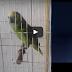 Παπαγάλος τραγουδάει Rihanna και είναι… καλύτερος!