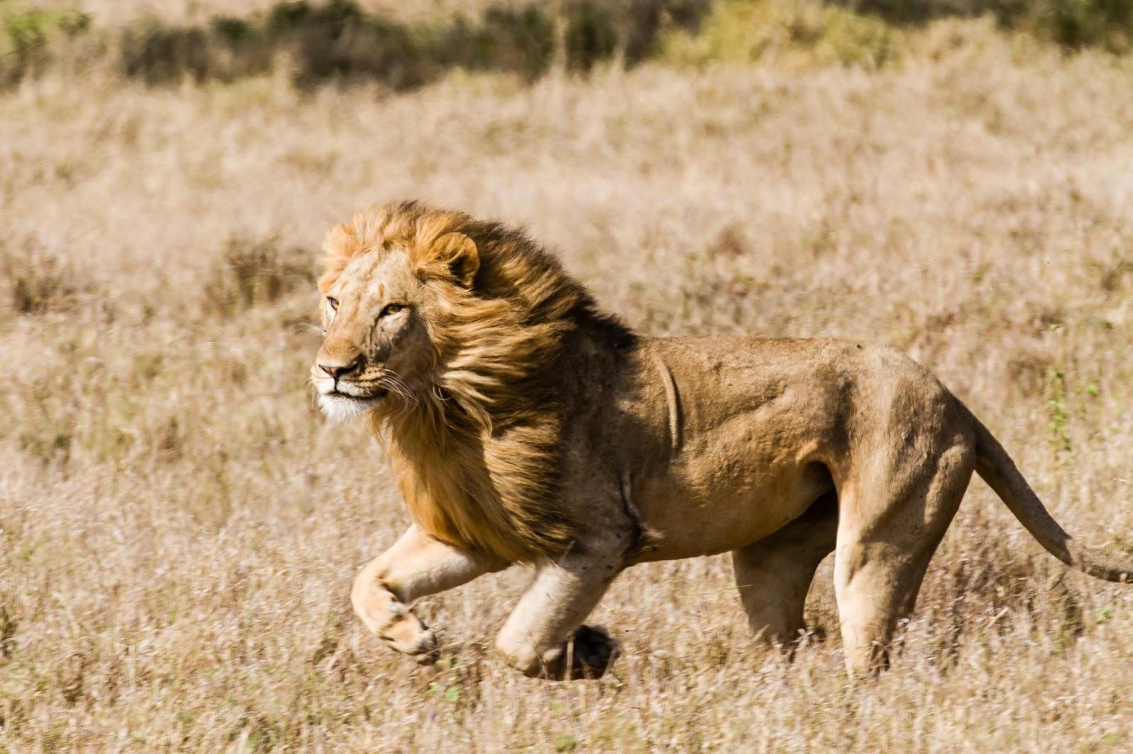 EcoTraining Blog: A phenomenal lion kill – defying the ...