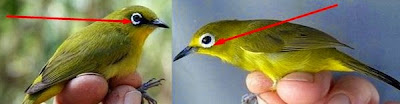 Gambar Macam - Macam Burung Pleci Dan Jenis Burung Pleci