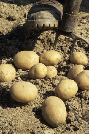 Potatoes Photographic Print by David Aubrey