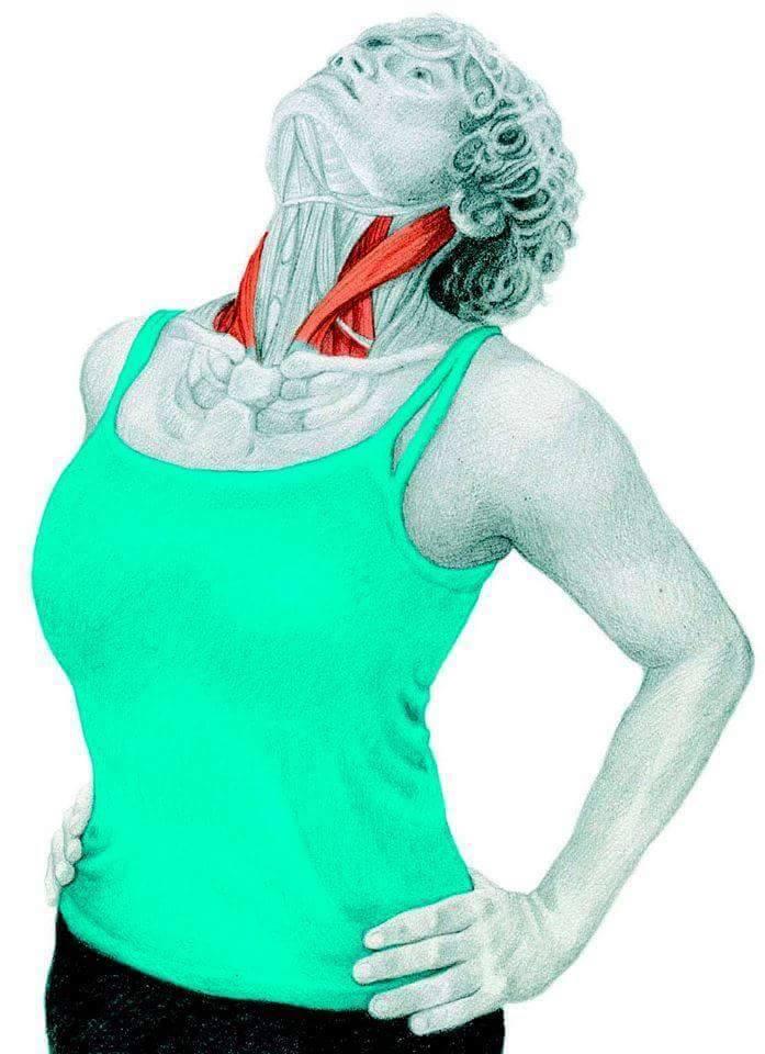 datar otot bahu dan dada