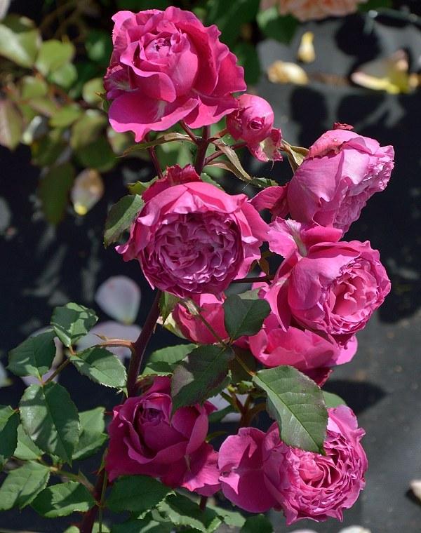 Ventilo сорт розы фото саженцы Минск купить