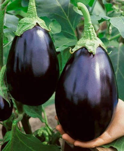 how to grow eggplant from seeds outdoors