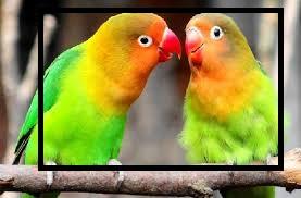 عدوى العين في طيور الحب - الأسباب والعلاج