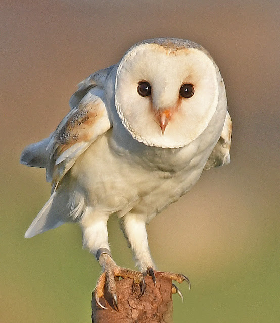 Barn Owls at Christmas