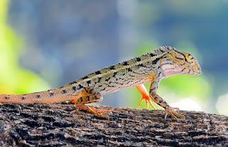 jenis reptil yang dapat dipelihara
