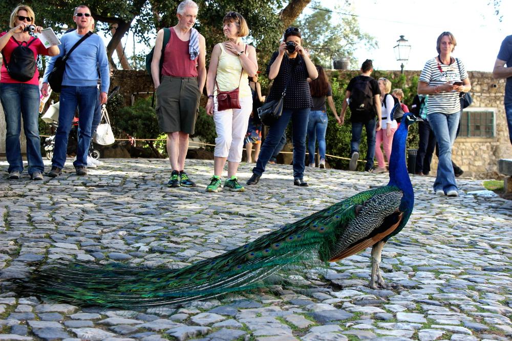 Castelo de Sao Jorge Pfau Peacock Garden Lissabon Travel Guide Castle Burg