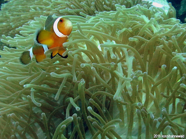 Three-band anemonefish, sea anemone, tropical waters, excellent diving, thailand, andaman sea, koh lipe, scuba diving, environmental friendly,