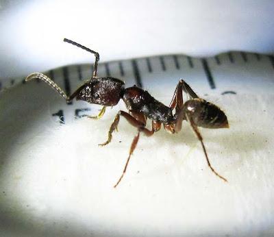 Odontoponera dennticulata worker