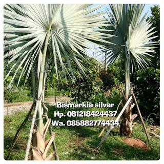 Kami menjual pohon palm bismarkia silver asli dengan harga murah