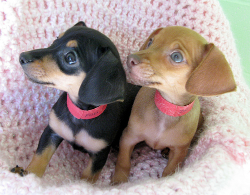 Funny Chihuahua Mix Puppies New Photos  Funny Animals