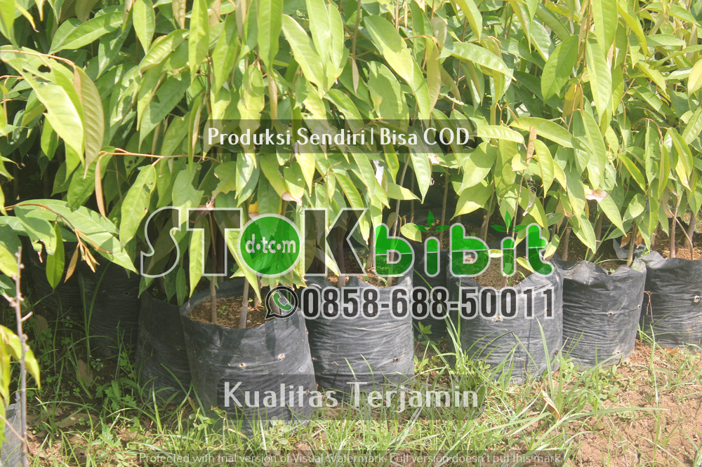 Pengiriman bibit durian |bibit apel | bibit delima dll bibit ke luar jawa      Berkwalitas     terjamin