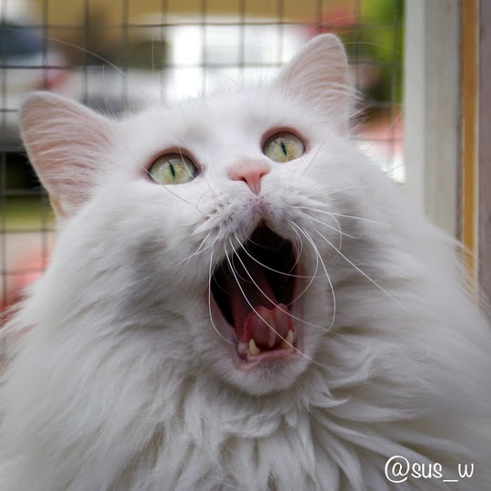 Turkish Van cat with open mouth