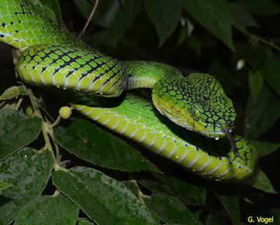 gambar ular hijau, gigitan ular hijau, ular hijau harga, ular berwarna hijau hitam, ular sanca hijau harga, harga ular hijau ekor merah, habitat ular hijau, ular hijau indonesia, ular hijau menjaga koper isi bayi, ular hijau berbisa di indonesia, ular hijau jenis
