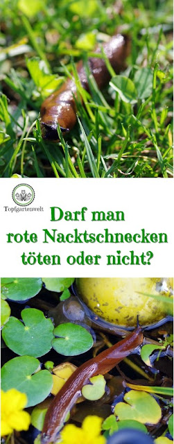 Gartenblog Topfgartenwelt Schädlinge im Garten: rote Nacktschnecken - darf man sie töten oder nicht? #nacktschnecken #schädling #schneckenkorn