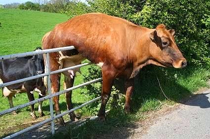 Vaca presa cerca