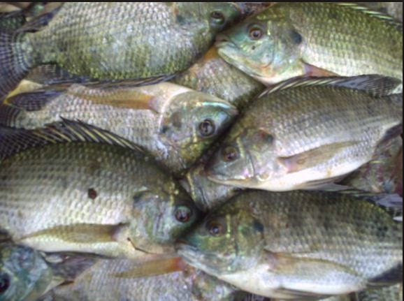 Cara Budidaya Ikan Nila dengan baik di beberapa jenis daerah Cara Budidaya Ikan Nila dengan baik di beberapa jenis tempat