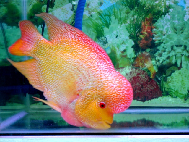 Fish Pictures Flowerhorn Cichlid Louhan