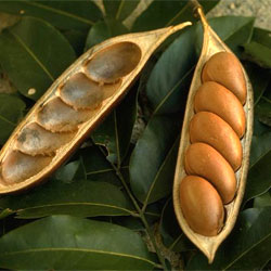 castanospermum-australe-pods.jpg