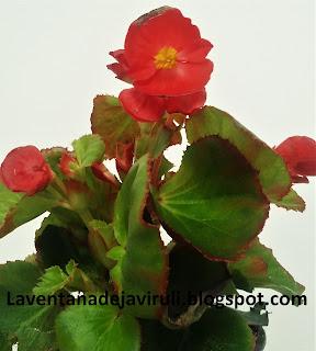cuidar-begonia-sempreflorens
