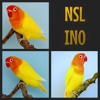 Lutino NSL