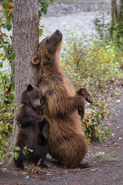 Grizzly Mama Bear Teaching Her Cub How To Use A Tree For A Back Scratch