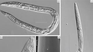 Resucitan gusanos de hace 42,000 años a causa del deshielo en Siberia.
