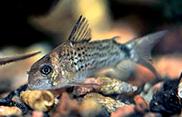 Jenis Ikan Corydoras osteocarus