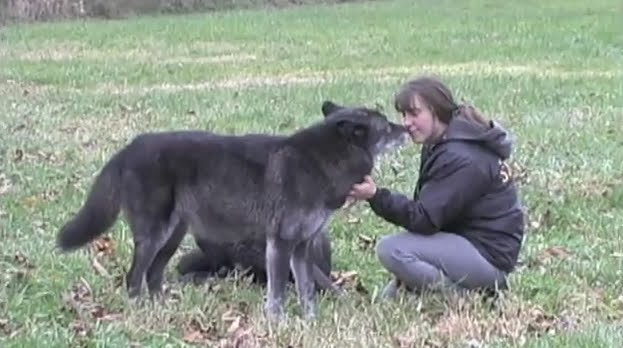 wolves as pets