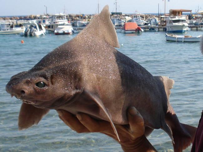 Tiburones en Galicia: Tiburón cerdo (Oxynotus centrina)