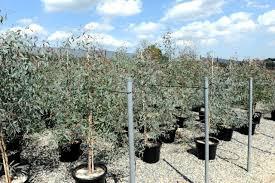Χρήσιμες συμβουλές για φύτεμα με σπόρους ευκαλύπτου melliodora και ρεικιού